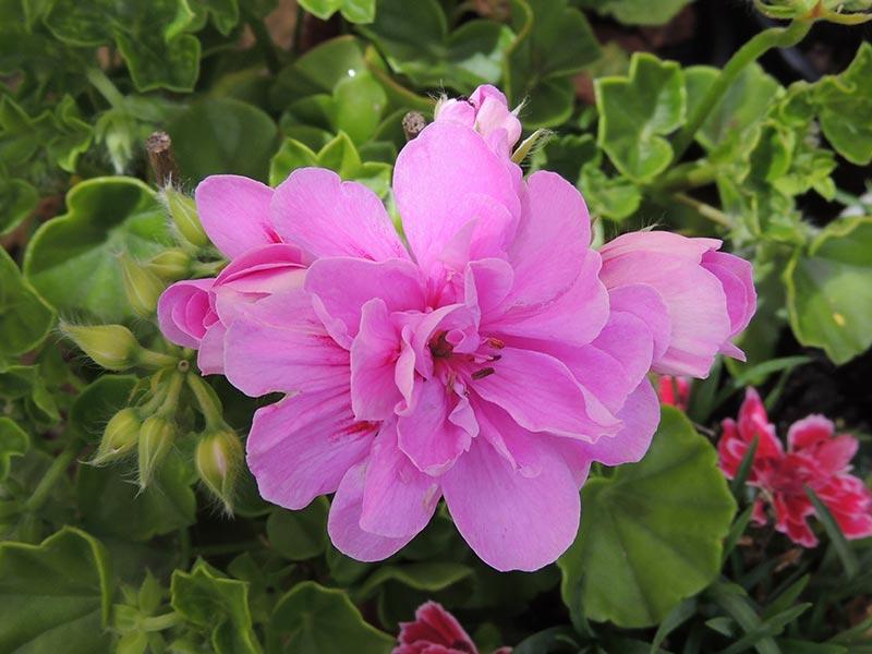 Fleurs du jardin © Gite Les 3 Voiles
