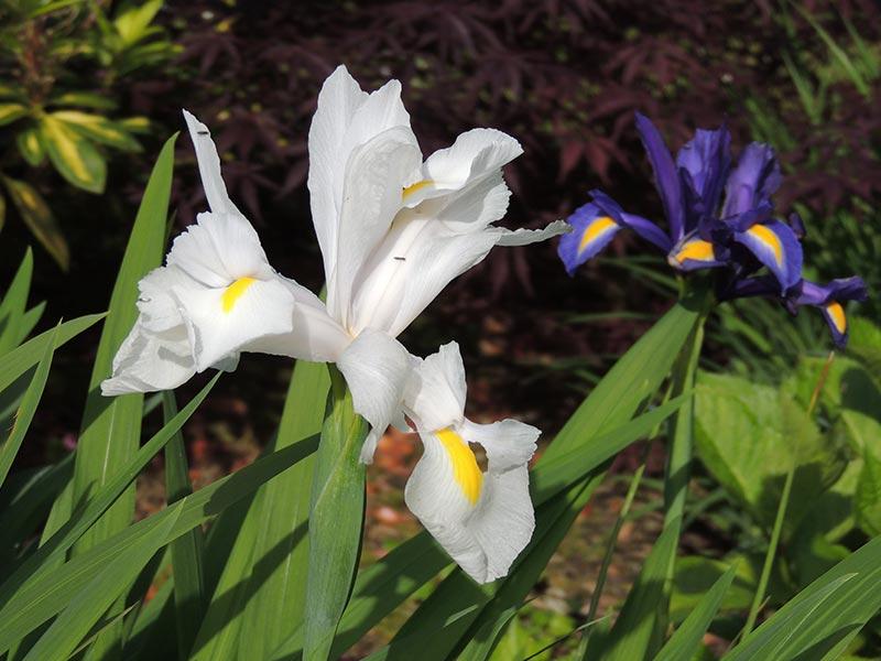 Iris du ruisseau © Gite Les 3 Voiles