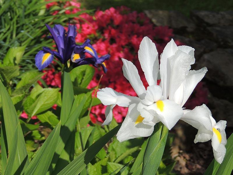 Iris et azalée © Gite Les 3 Voiles